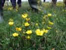 Raue Hahnenfuß (Ranunculus sardous)