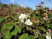 Baltrum, Kratzbeere (Rubus caesius).