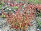 Graugrüner Gänsefuss (Chenopodium glaucum)