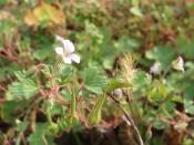 Rundblättriger Storchschnabel (Geranium rotundifolium)