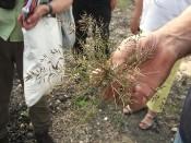Kleines Liebesgras (Eragrostis minor)