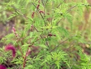 Beifußblättrige Traubenkraut (Ambrosia artemisiifolia)