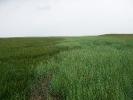 Brachliegende Salzwiesen im Außengroden.