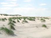 Baltrum, Vorduenen mit Binsen- o. Strandquecke