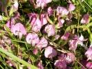 Borkum, Dorniger Hauhechel (Ononis spinosa)