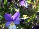 Borkum, Wildes Stiefmütterchen (Viola tricolor)