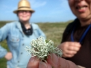 Spiekeroog, Strauchflechte (Cladonia arbuscula)