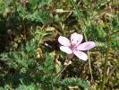 Spiekeroog, Reiherschnabel (Geranium cicutarium)