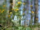 Gold-Hahnenfuß (Ranunculus auricomus agg.)