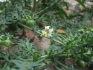 Dreiblütiger Nachtschatten (Solanum triflorum )