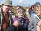 Tagblume oder Commeline (Commelina communis)