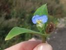 Tagblume oder Commeline (Commelina communis).