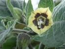 Kapstachelbeere (Physalis peruviana)