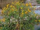 Ramtillkraut (Guizotia abyssinica)