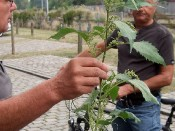 Rispenkraut (Iva xanthiifolia)