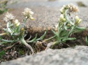 Gelbweißes Ruhrkraut (Pseudognaphalium luteoalbum)