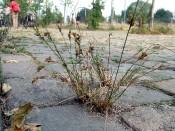 Zarte Binse (Juncus tenuis)