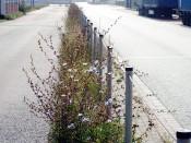 Grünstreifen mit Wegwarte (Cichorium intybus)