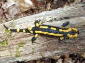 Feuersalamander (Salamandra salamandra)